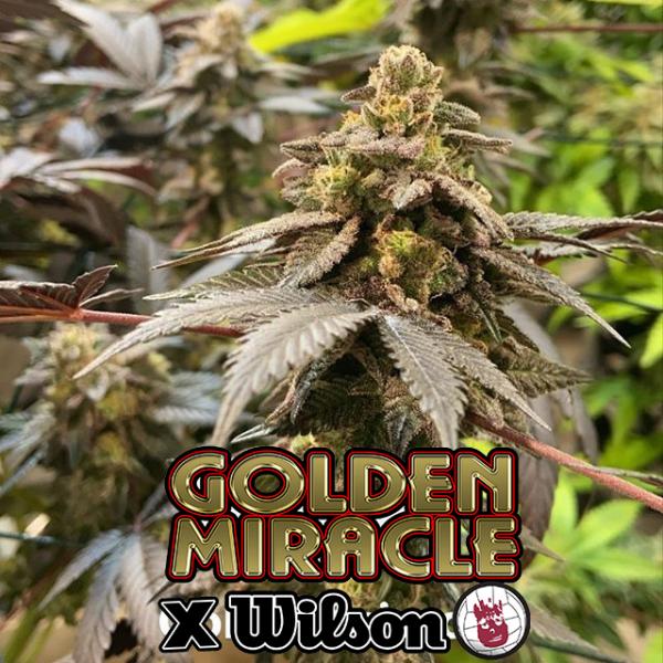 Golden Miracle X Wilson