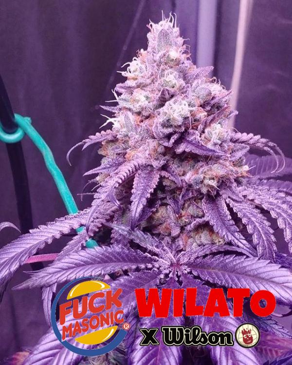 Wilato (unknown gifted clone, not gelato x wilson)