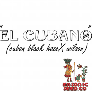 """El Cubano"" (Cuban Black Haze X Wilson)"
