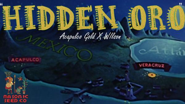 """""""Hidden Oro"""" (Acapulco gold X Wilson)"""