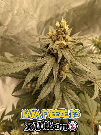 Kaya Freeze F3 X Wilson