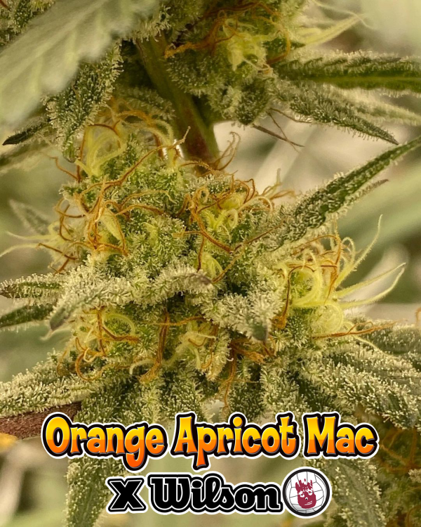 """Annoying Orange"" (Orange Apricot Mac X Wilson)"